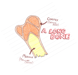 Long Bone Section