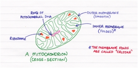 Parts of the Mitcohondrion